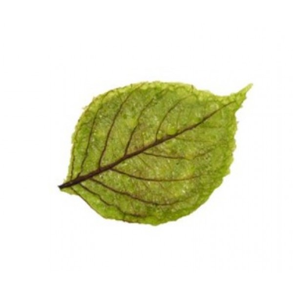 Feuilles de printemps vertes ultra fines, décors alimentaires (x 480)