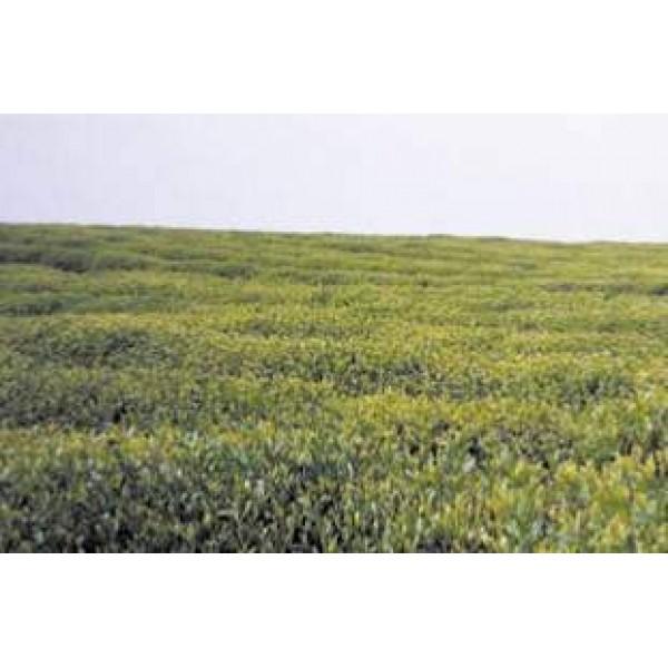 Thé vert Matcha en poudre (250 g)